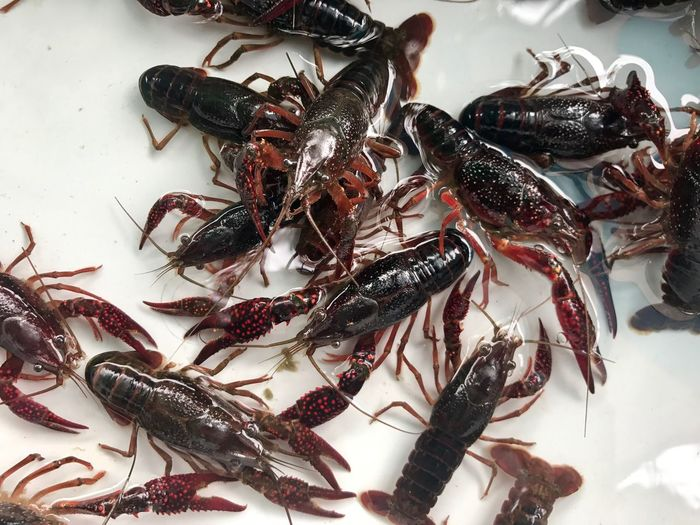 High angle view of crayfishes in water for sale