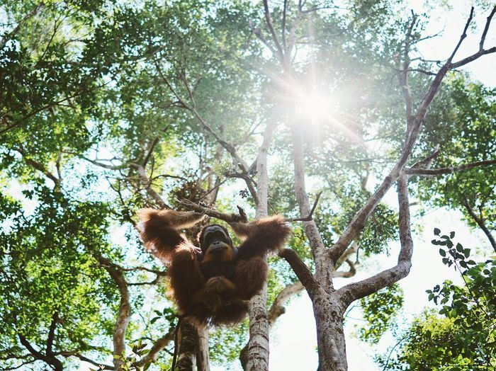 Adventure Animal Wildlife Animals In The Wild Ape Branch Bukit Lawang Day Forest Gunung Leuser National Park Hanging Hominid INDONESIA Looking At Camera Low Angle View Mammal Monkey Nature Orangutan Outdoors Rainforest Sumatra  Sunlight Tree Tree Trunk Wild Animal The Portraitist - 2017 EyeEm Awards The Photojournalist - 2017 EyeEm Awards Perspectives On Nature Be. Ready. The Great Outdoors - 2018 EyeEm Awards