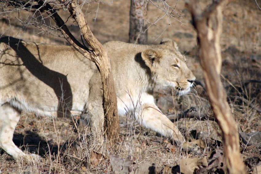 Gir National Park Animal Themes Animal Wildlife Animals In The Wild Day EyeEmNewHere Jungle Lion - Feline Lioness Mammal Nature Nature Photography No People Outdoor Photography Outdoors Rakeshtiwari Safari Animals Wildlife Wildlife & Nature Wildlife Photography