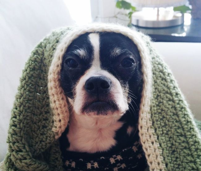 Funny Dog Boston Terrier Nun Dog Pets Animal Domestic Animals One Animal Portrait No People