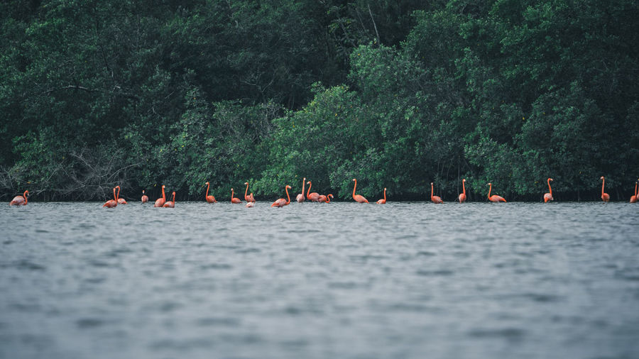 Flamingos on water by trees