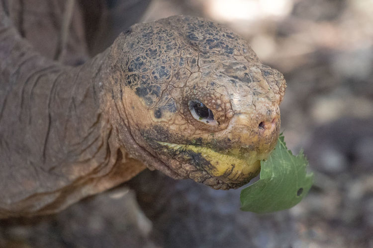 Animals In The Wild Galapagos Giant Tortoise Nature No People One Animal Riesenschildkröte Santa Cruz Galapagos
