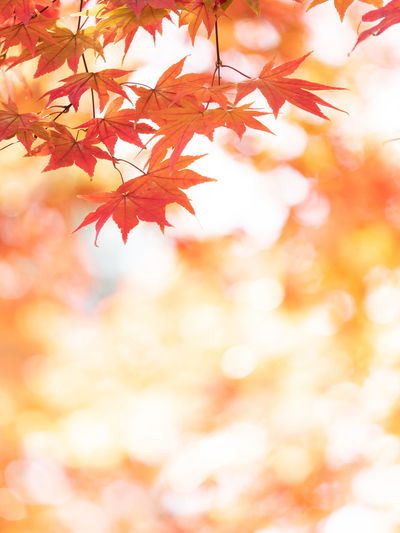 Autumn Plant Part Leaf Orange Color Beauty In Nature No People Change Maple Leaf Tree Branch Nature Maple Tree Backgrounds Plant Close-up Red Selective Focus Tranquility Outdoors Day Leaves Natural Condition