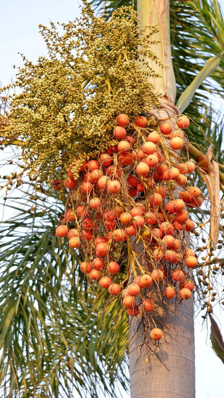 LOW ANGLE VIEW OF FRUITS ON PLANT AGAINST TREES