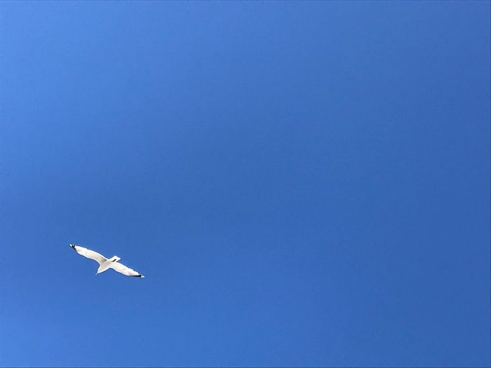 Seagull Birds Nofilter Ameland Seagull Blue Flying Sky No People