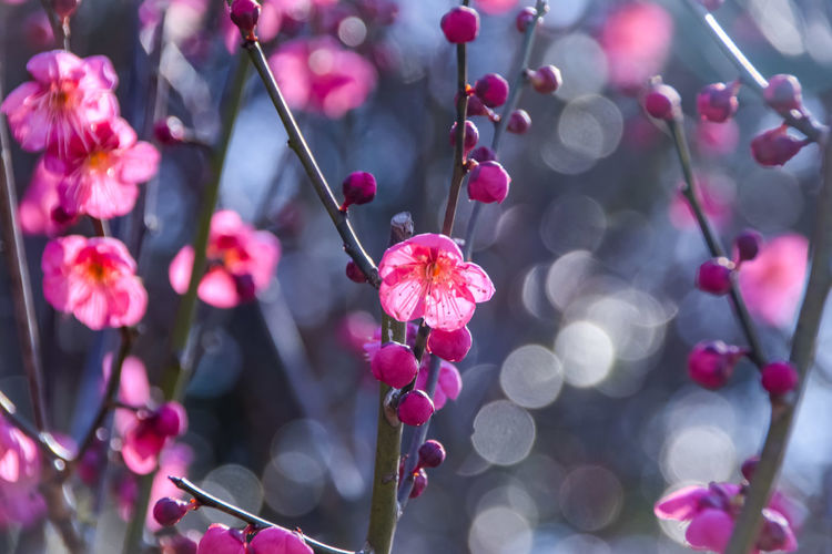 Plum Blossom Tree Flower Branch Pink Color Red Close-up