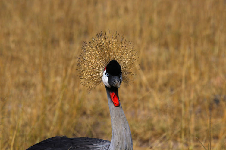 Close-up of a crowned crane on field
