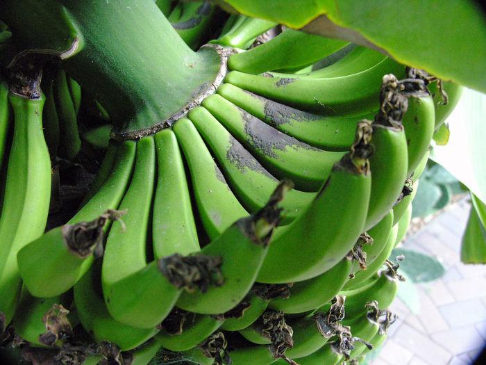 Bananas growing in Sydney Royal Botanic Gardens, Australia. Australia Banana Bunches Close-up Food Freshness Fruit Gardens Green Growing Plants Sydney Sydney Royal Botanic Gardens Trees