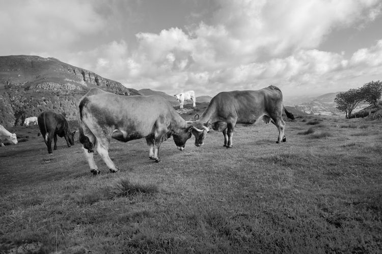 Animal Themes Blackandwhite Cantal Countryside Cows Fighting France Fujifilm Fujifilm_xseries Nature No People Outdoors Puy Mary
