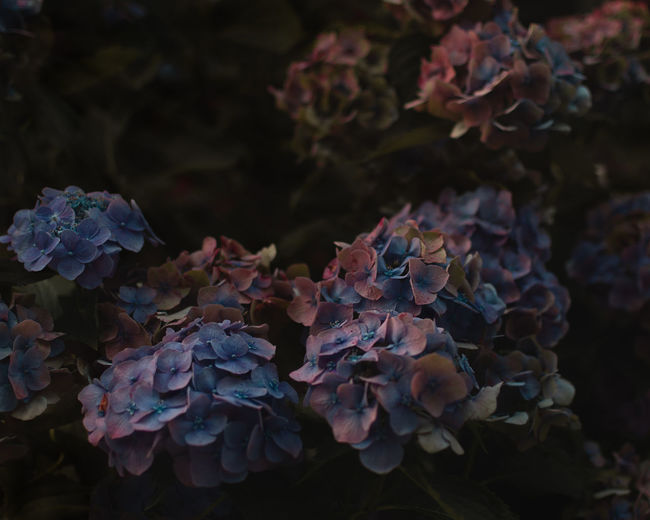 #EyeEmNewHere Beauty In Nature Bunch Of Flowers Close-up Fragility Hydrangea Outdoors Plant Purple