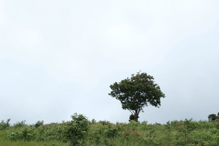 Plant Tree Sky Tranquility Beauty In Nature Growth Nature Day Environment Tranquil Scene Land Non-urban Scene Scenics - Nature Green Color No People Landscape Field Outdoors Copy Space Grass