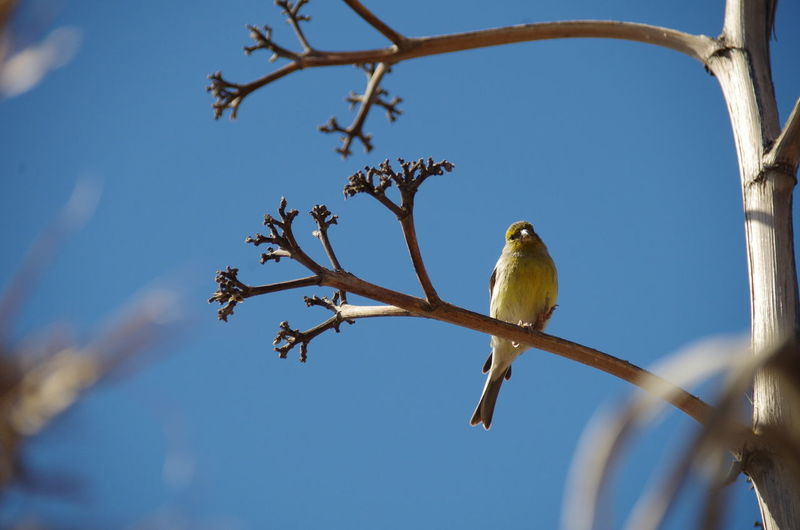 Canary bird, Tenerife, Canary Islands Animal Themes Animal Wildlife Animals In The Wild Bird Branch Canary Canary Islands Low Angle View Nature Tree