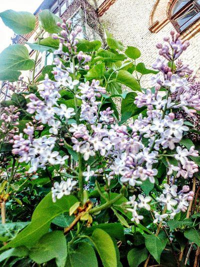 Еще сиренневых цветов)) Growth Flower Nature Fragility Plant No People Beauty In Nature Outdoors Day Freshness Close-up Весна💐🌷🌿 Kharkiv Харьков Markushkinaanush 2017 Flower Head