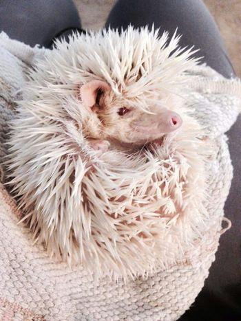 Hedgehog Hedgehogs Pets Awesome Hedgehogs