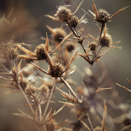 Close-up of dry thistle flowers