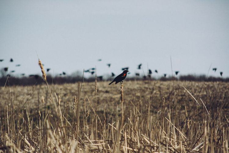 Red-Winged Blackbird Perching On Cattail Against Sky