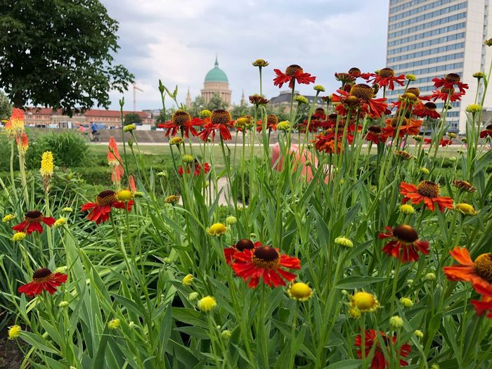Nikolaikirche Flower Head Lustgarten Potsdam IPhone X Photography IPhone X Potsdam Flowering Plant Flower Plant Growth Freshness Building Exterior Built Structure Architecture Sky Fragility Beauty In Nature Nature Vulnerability  Day Flowerbed Red Cloud - Sky Tree No People Green Color