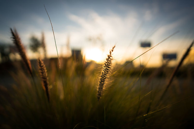 Close-Up Of Grass On Field Against Sky At Sunset