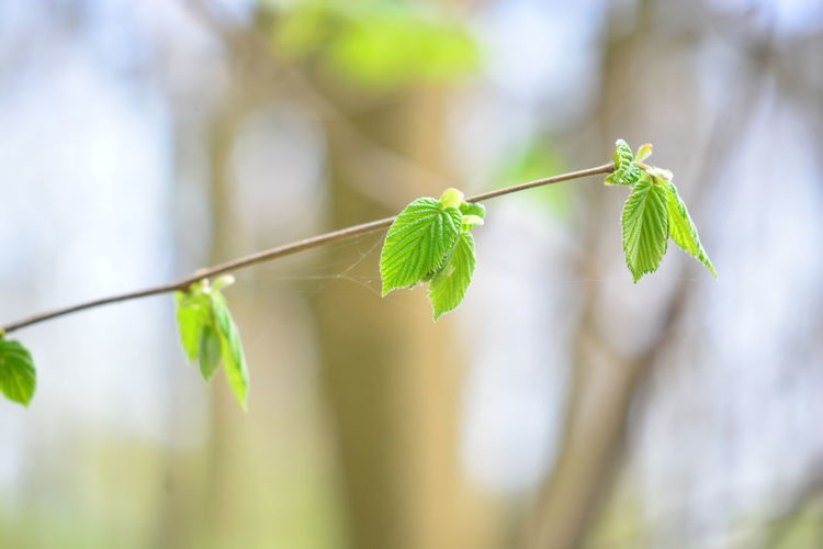 Leaf Plant Part Plant Close-up Focus On Foreground Green Color Growth Nature No People Day Beauty In Nature Tree Outdoors Selective Focus Freshness Branch Beginnings Plant Stem Hanging Twig Leaves