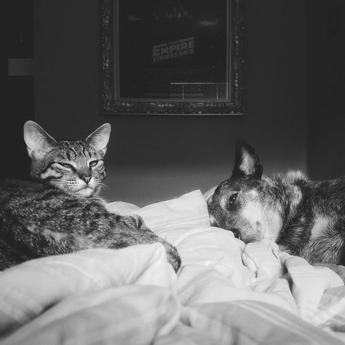 Bed Pets Bedroom Domestic Animals Domestic Cat Feline Indoors  Looking At Camera Dogs Cat Black And White Animal Themes