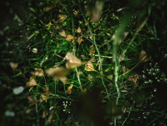 Capsella Bursa-pastoris Shepherd's Purse Pattern, Texture, Shape And Form Nature Pattern Heart Shaped  Leaves White Flowers Deep Green