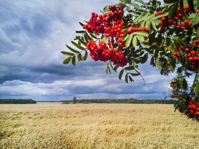 Estonia Farmland Agriculture Beauty In Nature Branch Cloud - Sky Countryside Day Farming Field Food Food And Drink Freshness Fruit Growing Growth Hanging Healthy Eating Landscape Nature No People Outdoors Red Sky Tree