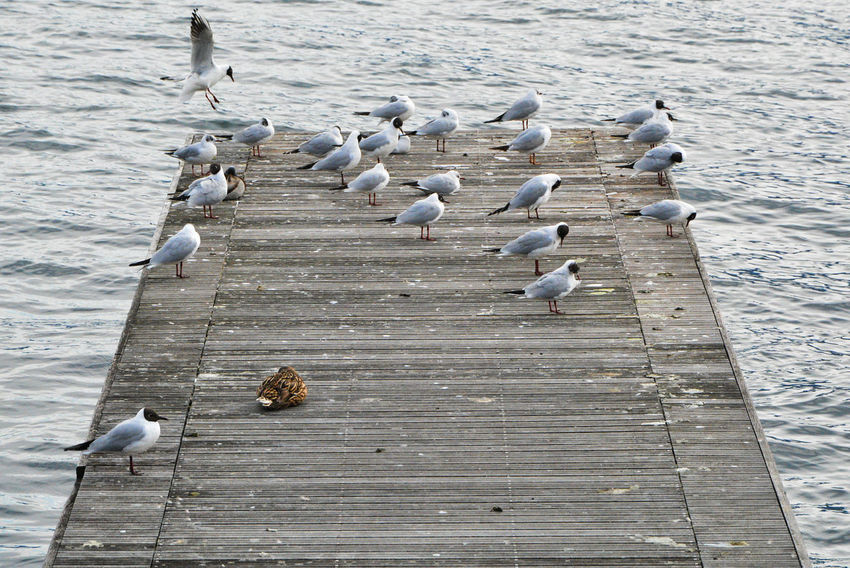 Gulls against the wind - Gravedona, Como, Lombardy, Italy. Como Como Lake Gravedona Gulls Italia Lario Lombardy Animal Animal Themes Animal Wildlife Animals Animals In The Wild Bird Birds Group Of Animals Gull Italy Lake Lake Como Large Group Of Animals Lombardia Perching Pier Water Wood - Material