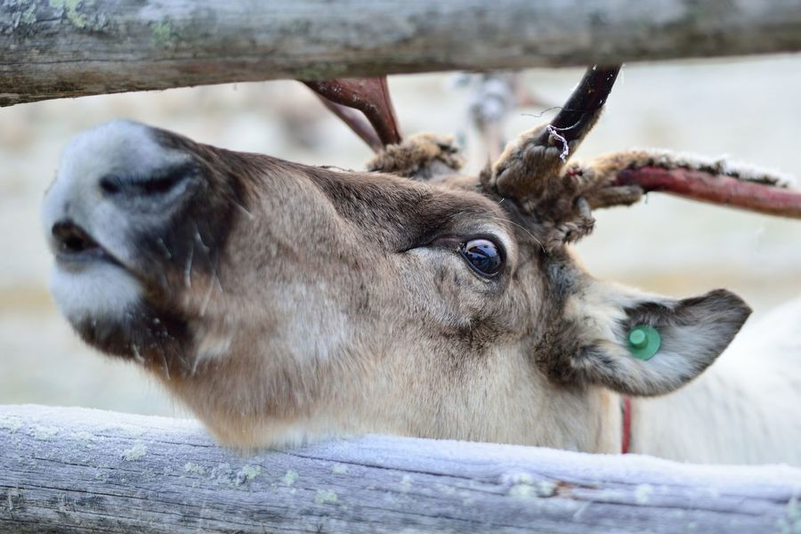 Close-up of a head of a reindeer Animal Animal Body Part Animal Head  Animal Themes Close-up Day Eye Focus On Foreground Mammal Nature No People Outdoors Portrait Reindeer Reindeer Antlers Selective Focus Snout Zoology