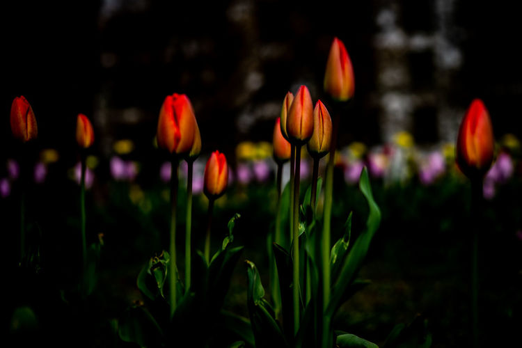 Flower Beauty In Nature Vulnerability  Plant Flowering Plant Fragility Freshness Growth Focus On Foreground Petal Close-up Nature No People Flower Head Tulip Inflorescence Land Field Day Plant Stem Purple Crocus Flowerbed The Minimalist - 2019 EyeEm Awards The Great Outdoors - 2019 EyeEm Awards