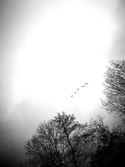 Animal Wildlife Animals In The Wild Bare Tree Beauty In Nature Bird Bird Migration Blackandwhite Day Flock Of Birds Flying Low Angle View Migrating monochrome photography Nature No People Outdoors Sky Spread Wings Tree Wildlife