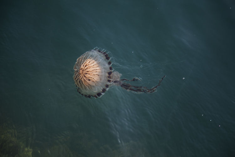 Jelly Fish Animal Themes Animal Wildlife Animals In The Wild Beauty In Nature Close-up Day High Angle View Nature No People One Animal Outdoors Sea Sea Life Swimming UnderSea Underwater Water Waterfront