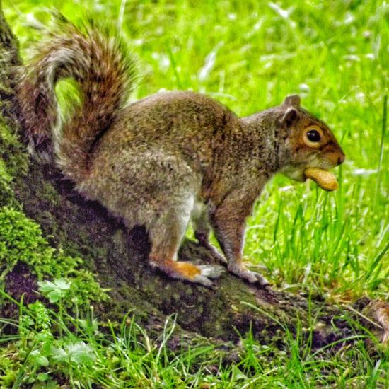 Another one of my squirrel friends Close Up Photography EyeEm Best Shots - HDR Beauty In Nature Nature Photography Wildlife And Nature Creative Light And Shadow Color Photography Fujifilm Hdr_captures Malephotographerofthemonth Squirrel Closeup Squirrel Eating Squirrels By Tony Bayliss Squirrel On The Ground Close Up Close-up Nature On Your Doorstep Nature And Wildlife By Tony Bayliss