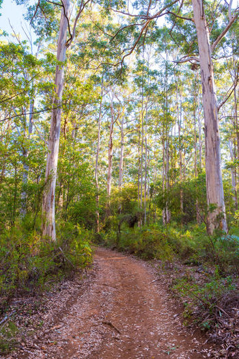 Boranup Karri Forest Tree Plant Forest Land Day WoodLand Nature Beauty In Nature Growth Non-urban Scene Tranquility Tree Trunk The Way Forward No People Trunk Scenics - Nature Tranquil Scene Footpath Landscape Outdoors Australia Travel Destinations Road