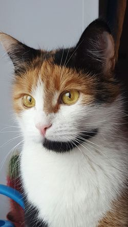 Animal Themes Pets Domestic Cat Domestic Animals Mammal One Animal Looking At Camera Feline Indoors  Close-up Portrait Yellow Eyes No People Day Kitty Calico Calicocat