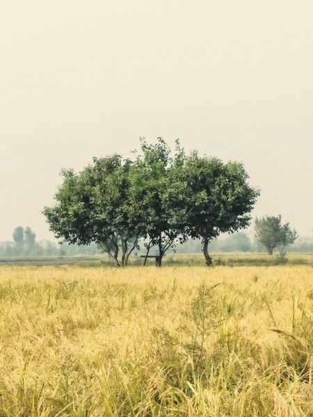 Tree Nature Beauty In Nature Landscape Field Growth Agriculture No People Grass Single Tree Sky Outdoors Day Creativity Nature Greenry Beauty In Nature Love_of_my_life Leaf