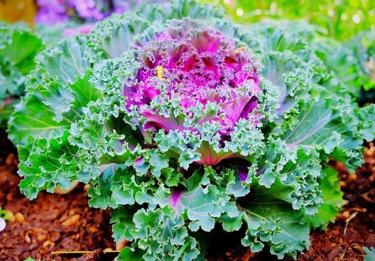 Close-up of ornamental cabbage growing on farm