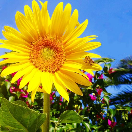 Enjoying Life Sunflower Yellow Flower First Eyeem Photo Firstpicture July Day Outdoors Plant Growth Flower Head Blooming Petal Close-up Freshness Nature Beauty In Nature Yellow Flower Fragility Sky No People