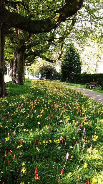 Tulips🌷 Spring SamsungS5 Den Haag Dutch Landscape Zuidholland Tree Plein1813 Denhaag To Go