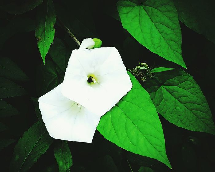 Plants 🌱 Flowers White And Green Nature Beauty Nature Green Colour Light And Shadow Leafs 🍃 Outdoor Photography Beauty Colors Leaves🌿 Outdoor The Week On Eyem Mobile Photography Springtime Spring