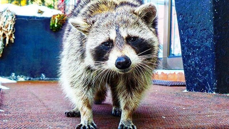She wasnt shy at all !! What a beautiful creature . 😻 Nature Animal Animals Animallover Racoon Racoons Thecoon Coon Coonhound Artsy Curiousgeorge Curiousity Toronto The6 The6ix 6 6ix Photographyislife Photographyislifee Photooftheday Travel TheCity Citylife