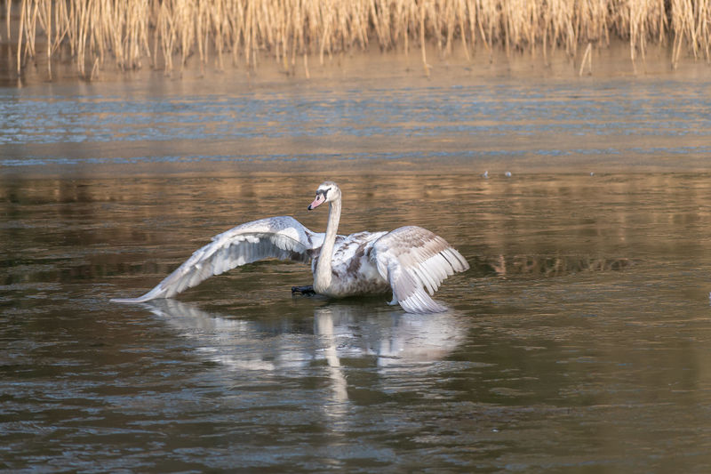 A Juvenile Swan attempts to stand on an icy lake Animal Themes Animal Bird Animal Wildlife Animals In The Wild Water One Animal Lake Waterfront Spread Wings Reflection Frozen Frozen Lake Slippery Unstable Ice Icerink Swan Signet Juvenile Young Swan First Time