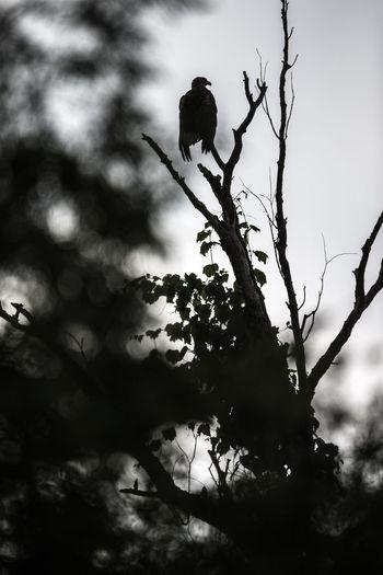 Bird Photography Danube Delta Donau Donaudelta Haliaeetus Albicilla Nature Naturfotografie Romania Seeadler Wildlife Photography Animal Themes Animal Wildlife Animals Bird Birds Nature Rumänien Tree Wildlife