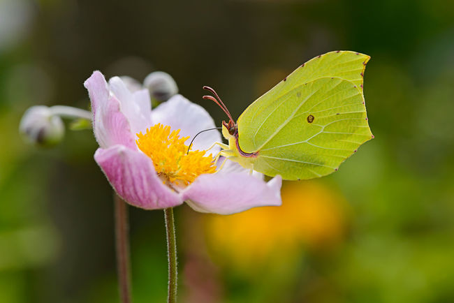 A yellow Brimstone butterfly sucking on a flowering japanese anemone. Lepidoptera Animal Themes Animal Wildlife Beauty In Nature Brimstone Butterfly Butterfly Close-up Day Flower Flower Head Focus On Foreground Fragility Freshness Garden Gonepteryx Rhamni Insect Japanese Anemone Nature Nektar Outdoors Petal Pieridae Plant Thimbleweed Zitronenfalter