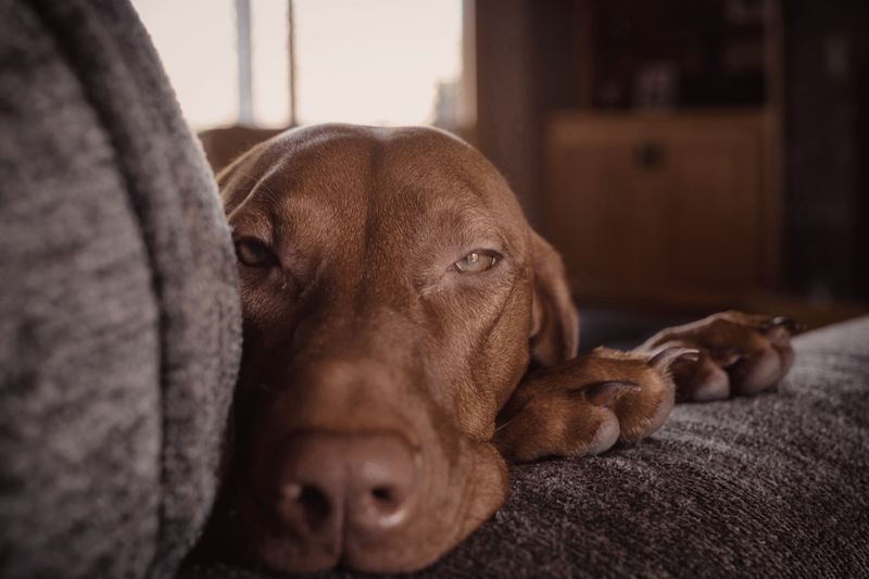 I see you Vizsla Relaxation Dog Indoors  Canine One Animal Mammal Pets Animal Themes Home Interior Domestic Sofa Animal Close-up Domestic Animals No People Resting Portrait Lying Down Vertebrate
