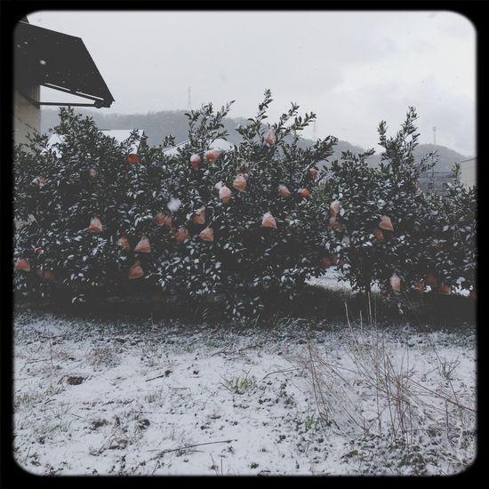 めずらしく雪雪