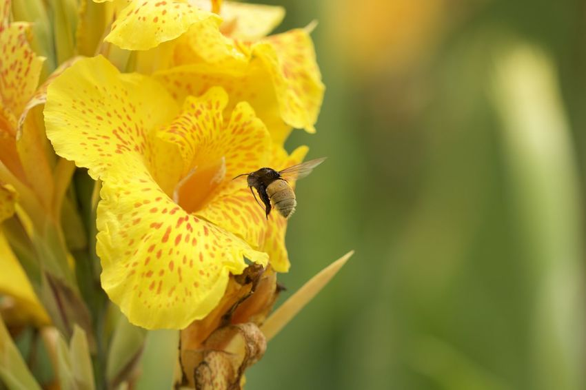 Bumblebee Feeding Insects Flower Polinization Yellow