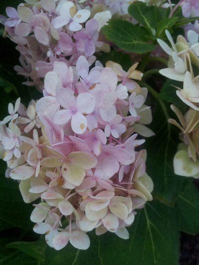 ดอกไม้อะไรก็ไม่ยู้~ สีมันพาสเทลดีก็เลยถ่ายมา ^^ No Filter No Edit Pastel Pink Flower