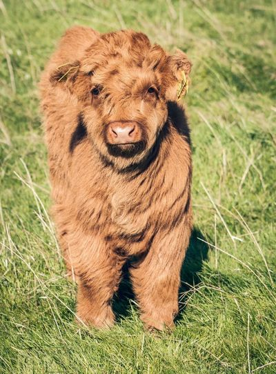 Portrait Of Highland Cattle Calf Standing On Grassy Field