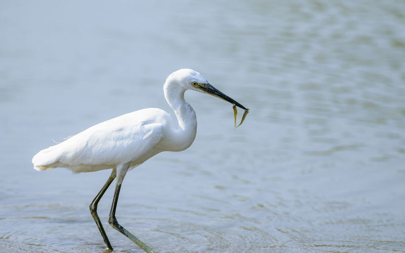 Great Egret Standing In Lake