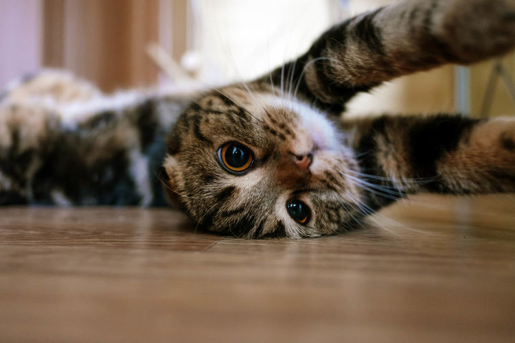 Close-up portrait of cat relaxing on floor at home